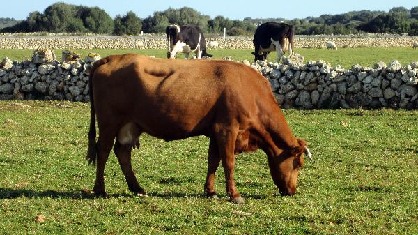 vacas en Menorca